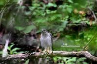 水場に降りたハイタカ - azure 自然散策 ~自然・季節・野鳥~