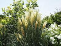 大草原に映えるパンパスグラス - 神戸布引ハーブ園 ハーブガイド ハーブ花ごよみ