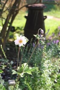アネモネ&茎が細いチーム - ペコリの庭 *