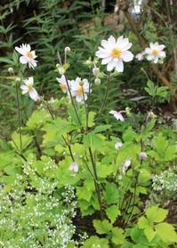 『庭オタク』&アネモネ2種 - ペコリの庭 *