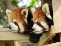 仙台市八木山動物公園の旅行記を姉妹ブログ「レッサーパンダ紀行」にアップしました - (続)レッサーパンダ紀行