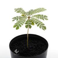 ビオフィツム~っていう動く!? 植物が可愛らしい!! - ZERO PLANTS / BLOG