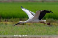 田んぼを飛ぶ - 野鳥 飛翔フォト