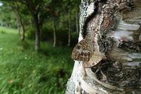 キマダラモドキの交尾 - 蝶超天国