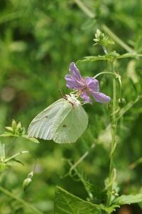 ヤマキチョウの吸蜜ほか - 蝶超天国