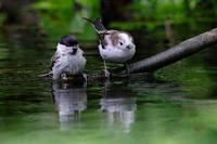 あんがいと気が強い。 - 季節の野鳥~Wildbirds archives