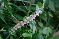 ■夏の草花(3)19.8.16(ツルボ、ヤブラン、ハキダメギク) - 舞岡公園の自然2