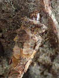 クロツヤミノガの幼虫? Bambalina sp. - 写ればおっけー。コンデジで虫写真
