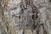 キマダラカメムシの幼虫 - 写ればおっけー。コンデジで虫写真