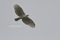 信越国境にて…森の王が空を飛ぶ - Olive Drab