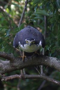 オオタカ「位置について~」 - 気まぐれ野鳥写真