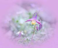 白馬五竜高山植物園のヤマオダマキ 2 - 光 塗人 の デジタル フォト グラフィック アート (DIGITAL PHOTOGRAPHIC ARTWORKS)