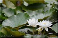 睡蓮の花 - 北海道photo一撮り旅