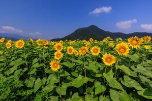 夏の花畑2019 福井のひまわり畑(若狭町・小浜町) - 花景色-K.W.C. PhotoBlog