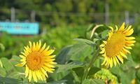 向日葵 6奈良県 - ty4834 四季の写真Ⅱ