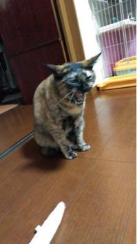 猫たちのお留守番1日目 - ばくふうにゃんこ・・・ふうちゃん日記