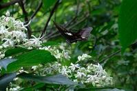 ■蝶 3種19.8.17(モンキアゲハ、ジャコウアゲハ、アカボシゴマダラ) - 舞岡公園の自然2