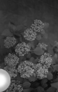 宵撮り ~紫陽花~ - ページをめくるように