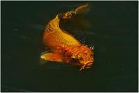 池の鯉 - HIGEMASA's Moody Photo