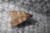 ソトウスグロアツバ Hydrillodes lentalis ?? - 写ればおっけー。コンデジで虫写真