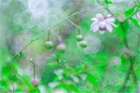 別荘地内でもレンゲショウマが咲いてた。 - 光のメロディー