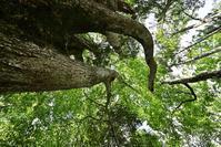オコタン埼探検ツアー推定樹齢1200年幹周6.9mのミズナラに会いに。2019.8.18 - やぁやぁ。
