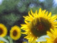 昭和記念公園のひまわり畑ラスト - 光の音色を聞きながら Ⅳ