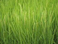 稲に穂が出始めました♪ - 八ヶ岳 革 ときどき くるみ