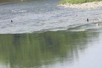 カワウ 大和川 大阪府内 2019年8月中旬 - 大和川野鳥撮影日記 大阪府内限定  絶好の場面を狙って撮影