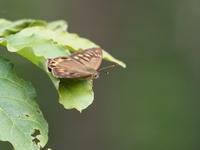 大菩薩湖周辺でチョウを観察 - コーヒー党の野鳥と自然パート3