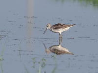 炎暑の休耕田にアオアシシギ - コーヒー党の野鳥と自然パート3