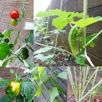 家庭菜園 実り - NATURALLY