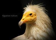 エジプトハゲワシ - 動物園の住人たち写真展(はなけもの写眞店)