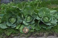 自然栽培アオムシなどの害ジャガイモの収穫量 - 自然栽培 釧路日記