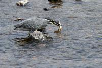 ササゴイのオイカワ漁 - 比企丘陵の自然