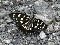 ゴマダラチョウ夏型 - 秩父の蝶