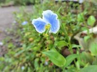 眼鏡露草 - だんご虫の花