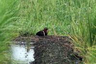 タマシギに逢う - 私の鳥撮り散歩