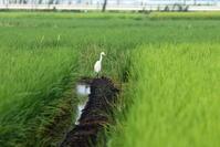 タマシギに逢うその2(サギとのコラボ) - 私の鳥撮り散歩