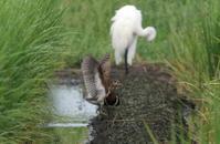 タマシギとの出会いその3(羽ばたき) - 私の鳥撮り散歩