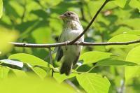 キビタキの幼鳥がたくさん - 四十雀の憂愁 〜野鳥写真日記〜