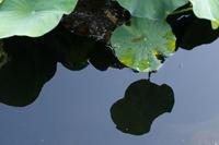今日の向島百花園ハスタカサゴユリトウゴウキクススキセンノウキキョウ - meの写真はザンス