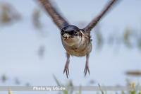 飛び出し - 野鳥 飛翔フォト
