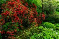 新緑とキリシマツツジの庭(青蓮院門跡) - 花景色-K.W.C. PhotoBlog