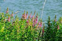袖ケ浦公園で散策。池の風景や花など - ぶらり散歩 ~四季折々フォト日記~