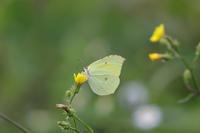 ヤマキチョウ - Lycaenidaeの蝶鳥撮影日記