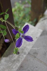 クレマチスと観葉植物の寄せ植えその後 - 小さな庭 2