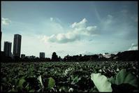 不忍池 -4 - Camellia-shige Gallery 2