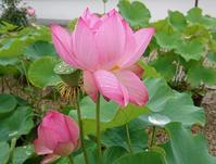 蓮の花の美しい喜光寺 - 緑のかたつむり