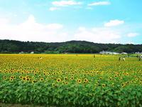 益子まで、ひまわり畑を見に・・・。 - 自転車走行中(じてんしゃそうこうちゅう)